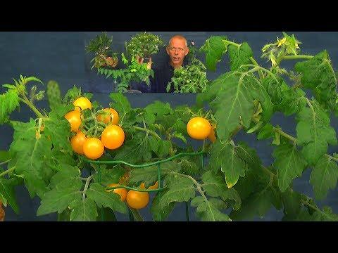 Tomaten Ernte im Haus und exotische Pflanzen Updates