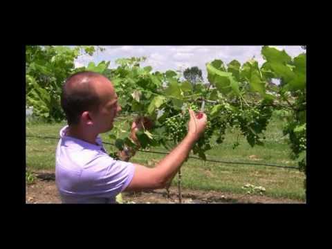 How to Care for Grapes - Fruit Thinning - Gurney's Video