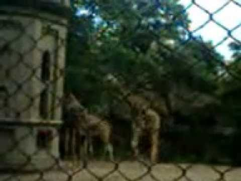 The Giraffe --  an African even-toed ungulate mammal at Alipore Zoo, India