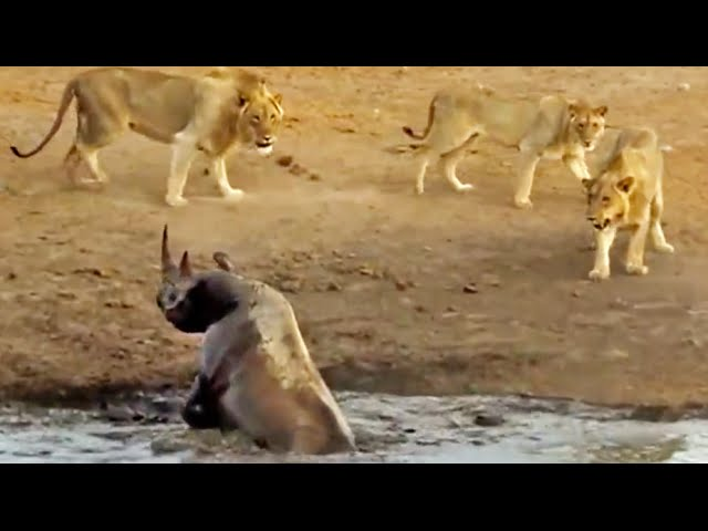 3 Lions Attack Black Rhino That's Stuck in Mud
