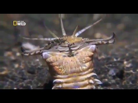 Самый жуткий хищник океана - гигантский кольчатый червь