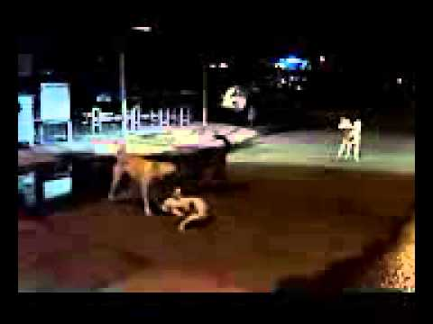 funny games dogs of Thailand Pattaya / Смешно играют собаки