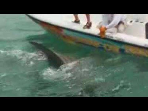 Best Hammerhead Shark Video Chew On This Fishing Show