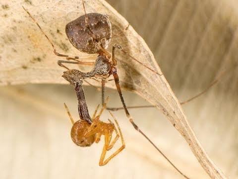 The Assassin: A Spider That Hunts Other Spiders