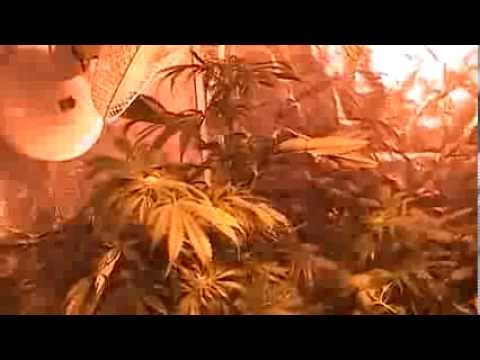 Marijuana tent grow. week 3 flowering