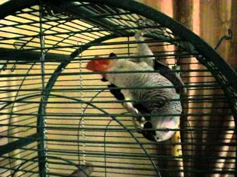 Loro Yaco enfadado golpea la jaula y dice palabrotas