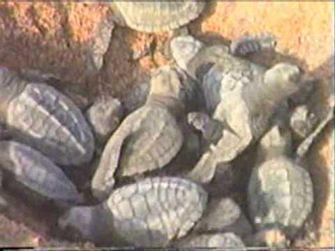 Newly Hatched Olive Ridley Turtles at Orissa Coastline