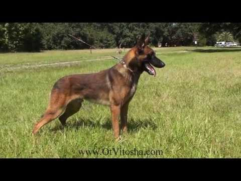 Belgian Malinois Appearance of the working type