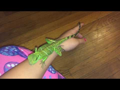 Are Chinese water dragons beginner pets?