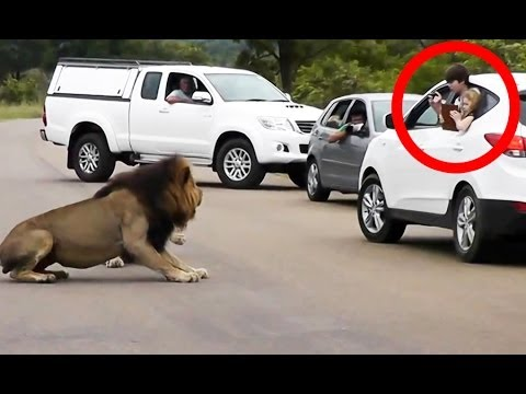 Lion Shows Tourists Why You Must Stay Inside Your Car - Latest Wildlife Sightings Music Videos