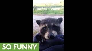 Abandoned baby raccoon not happy about being rescued