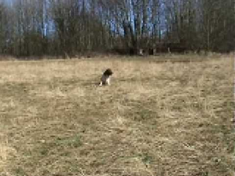 Gundog training: Milo, a english springer spaniel. Video