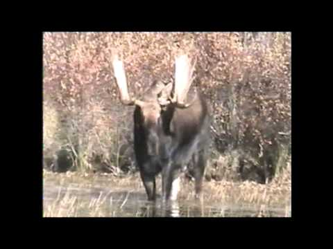 Manitoba Moose guides capture video of Big Sand Moose destroying a tree!