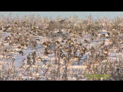 STEGLITS  European Goldfinch  (Carduelis carduelis)   Klipp - 409
