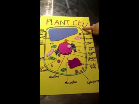 Images of Plant Cells 3d Plant Cell Model