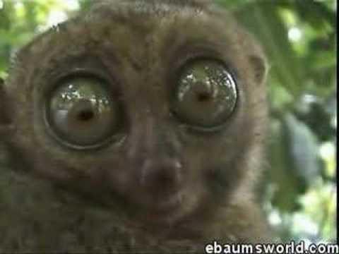 The Dramatic Lemur Original