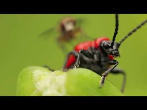 Red Lily Beetles : Macro Video