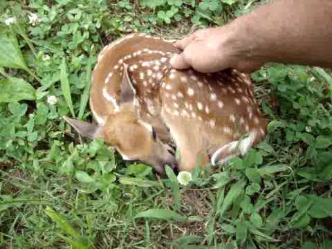 """Baby deer in my yard. """"Are you ok?' Read info."""