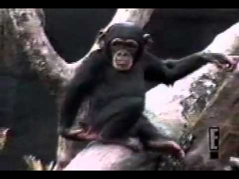 monkey kills himself stupidly  lol