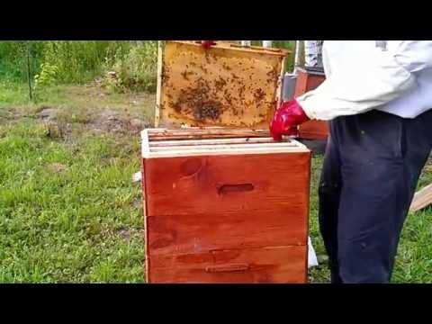 ловим пчел в лесу