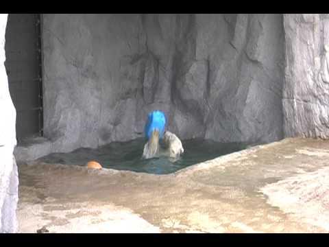 旭山動物園ホッキョクグマのサツキ来園!サツキの豪快な遊び2010.4.5撮影