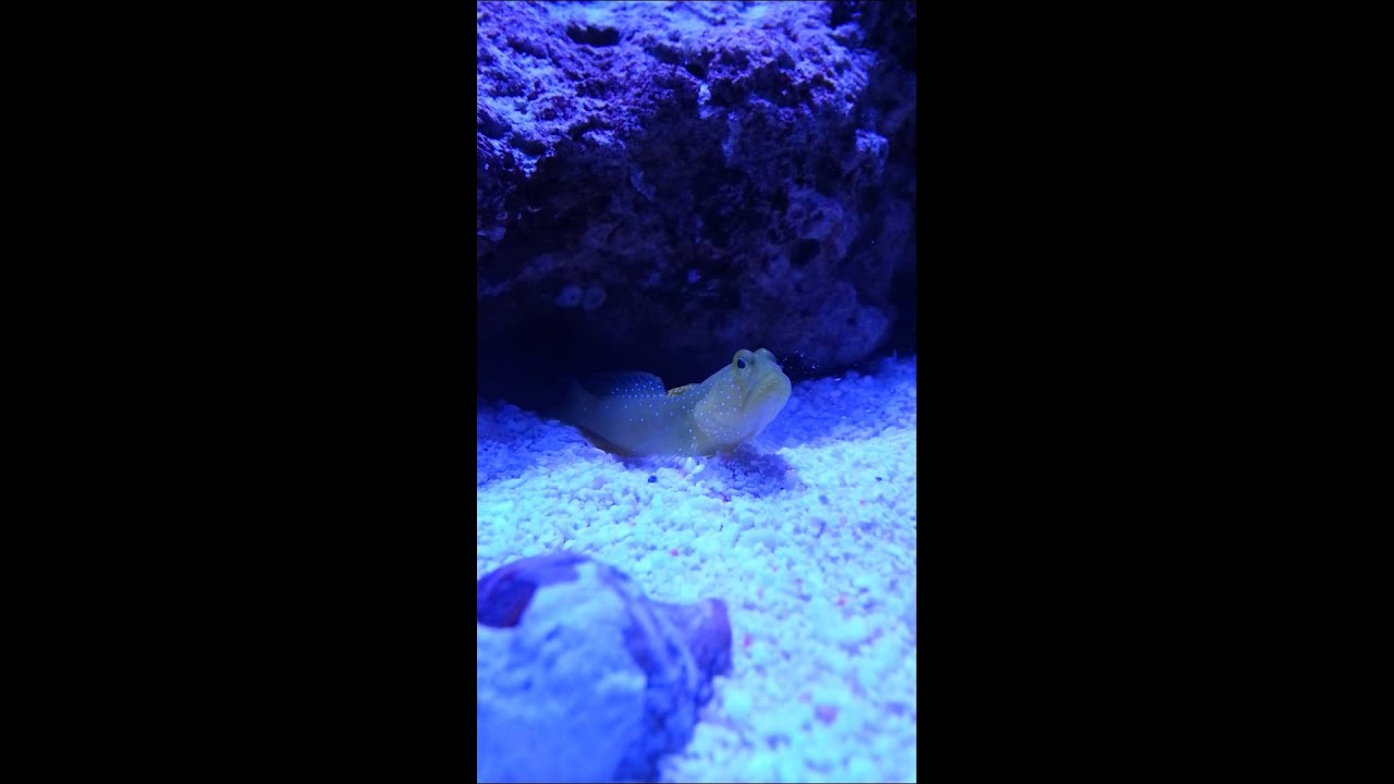 Yellow Watchman Goby Not Yellow Yellow Watchman Goby Sifting