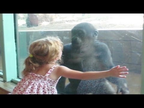 Little Girl And Baby Gorilla Become Friends video