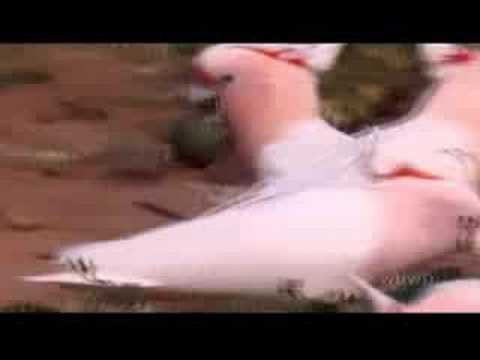 AUSTRALIA's WILD PARROTS & COCKATOOS - PBS SPECIAL - Part 1 of 2
