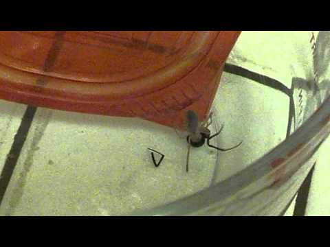 Sun spider vs. Black widow