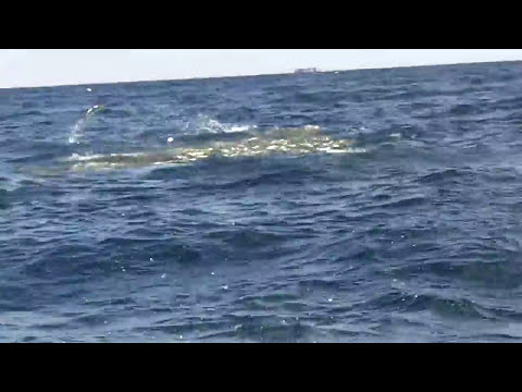 King Mackeral busting on balls of Pogies in the Gulf of Mexi