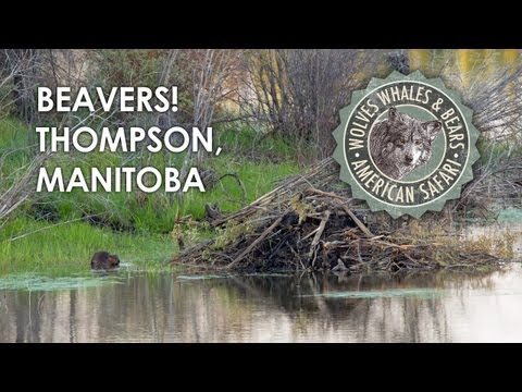 Beaver family building a lodge. Thompson, Manitoba (swimming eating playing slapping)