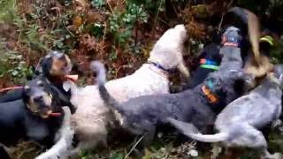 chasse sanglier,découplé de 33 chiens sur un ferme !!