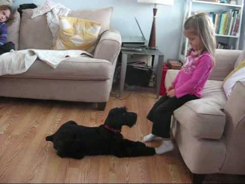 Giant Schnauzer Puppy 12 weeks Doing