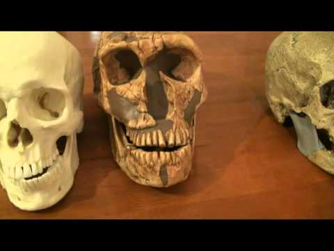 Comparison of Neanderthal, Cro-Magnon and Modern Human Skulls