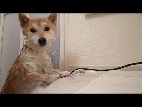 シャワー中と後で人が変わる柴犬 休之助