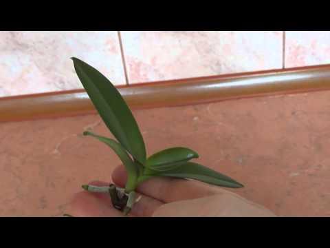Стоит ли отделять уже детку орхидеи от мамы?