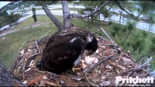 Southwest Florida Eagle Cam 20th March 2014 11.04 AM Food delivery for E4