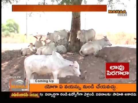 Mahaa News Special Report World Milk Day | Milk Production Decreased in Villages