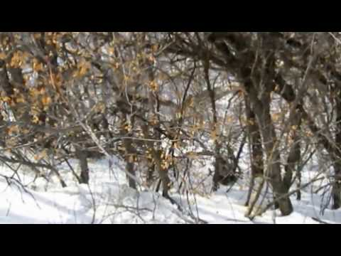 ( PART 2 ) UNBELIEVABLE BIGFOOT TRACKS & HAIR IN S. FORK ( UTAH )  ~ MAR - 02 - 2013 ~
