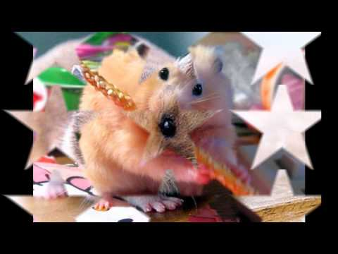 Hampton The Hampster - The Official Hamster Dance Song video