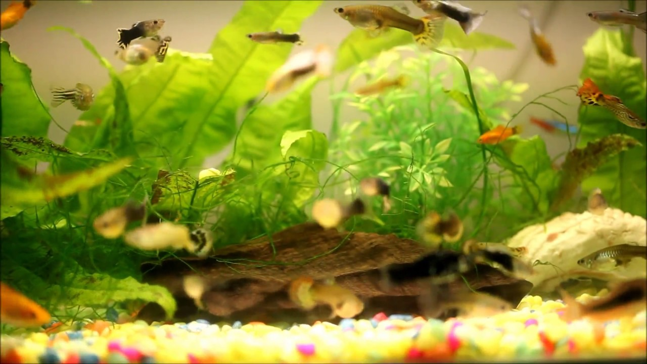 Tetras Guppies Together Lots Guppy Molly Tetra