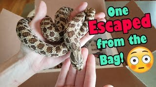 Unboxing Adult Hognoses
