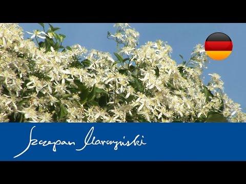 Clematis Terniflora - Rispenblütige Waldrebe