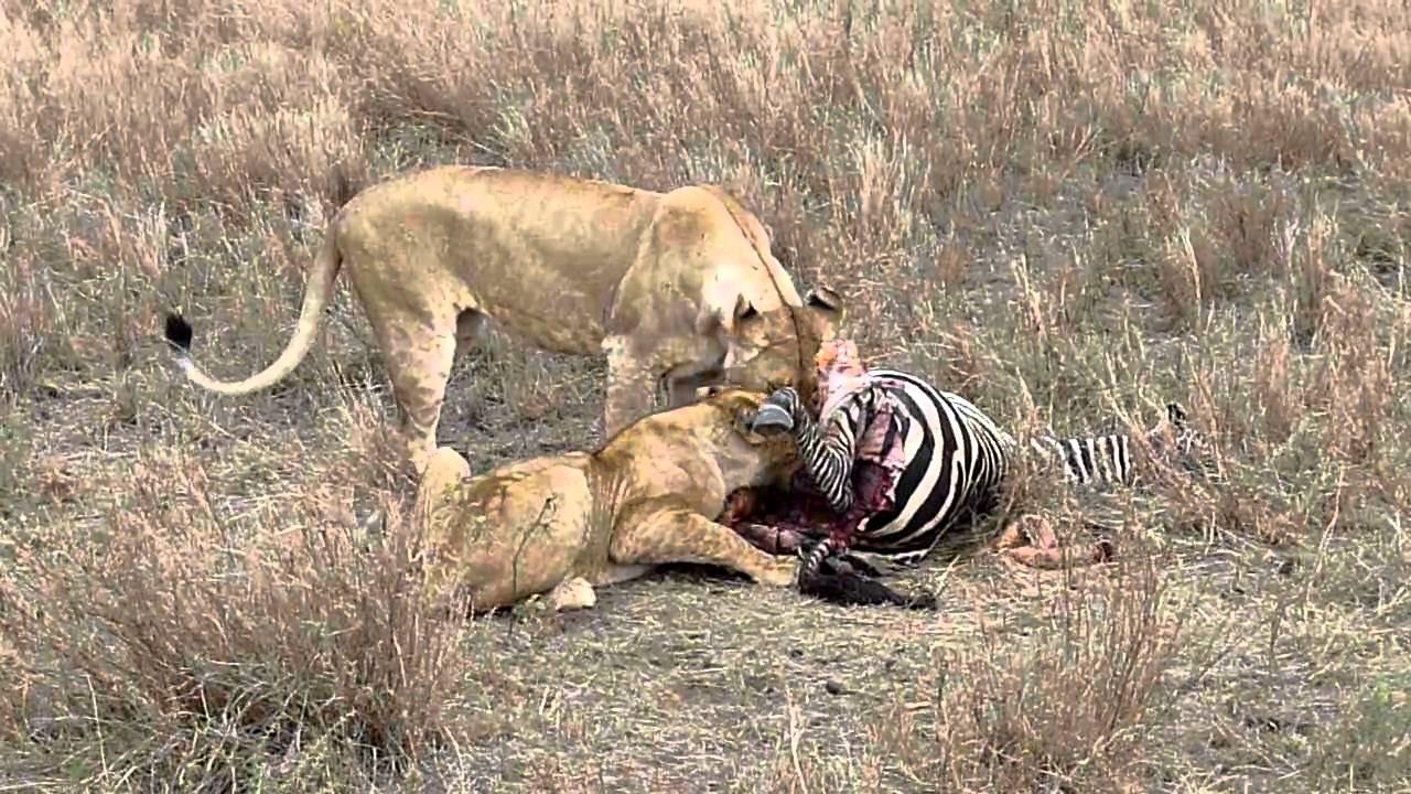 Lion Zebra Baby Lions Eat Zebra