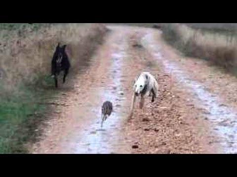 11.- Galgos vs Liebres XI --- Greyhounds vs Hares XI (Otra buena carrera)