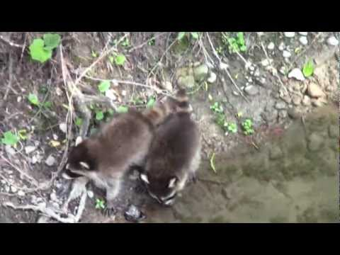 Baby Raccoons by the Creek