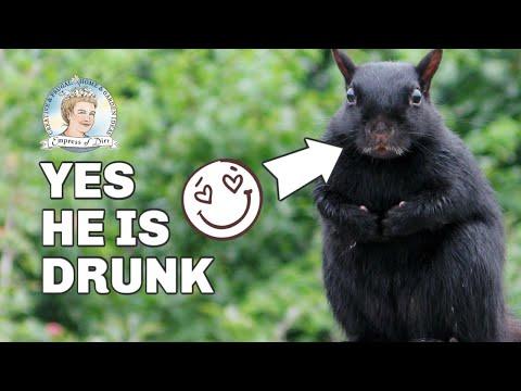 Drunken Squirrel: Too Many Fermented Cherries!