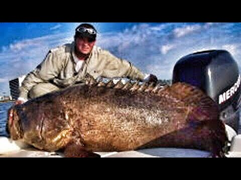 500 Pound Goliath Grouper Sea Bass Jewfish Fish Chew On This! Fishing ...