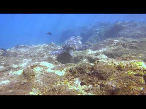 Kauai Green Sea Turtles Jan 2015