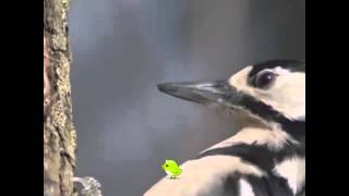 Woodpecker Peck In Slow-motion (VINE)